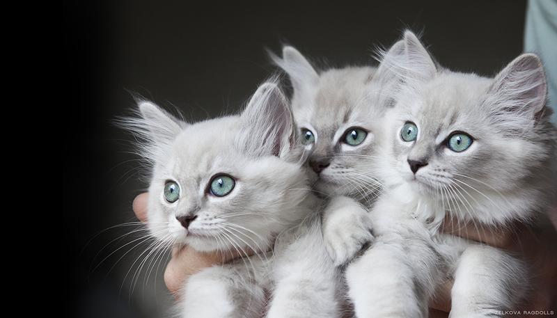 kitten adoption anchorage